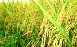 Giải mã thành công gen 36 giống lúa của Việt Nam