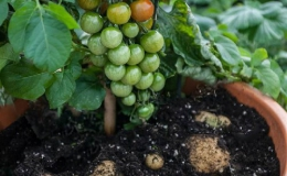 Cây lai cà chua – khoai tây