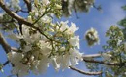 Đà Lạt nhân giống hoa phượng trắng