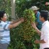 """Cây lành trái ngọt """"Sự tư duy sáng tạo trong trồng cây ăn trái"""""""