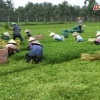 Mô hình trồng rau màu ở huyện Châu Thành-Tiền Giang