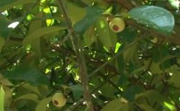 """Cây lành trái ngọt """" Mô hình trồng măng cục trái mùa"""""""