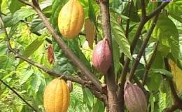 """Cây lành trái ngọt: """"Mô hình trồng ca cao xen vườn nhãn"""""""