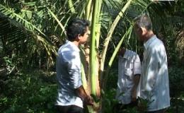 """Cây lành trái ngọt """"Mô hình trồng dừa sáp"""""""