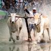 Hình ảnh hội đua bò Bảy Núi