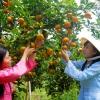 Nhà vườn miền Tây nắn trái cây bán Tết