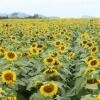 Chiêm ngưỡng cánh đồng hoa hướng dương rực vàng xứ Nghệ