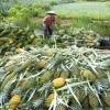 Giá khóm Tân Phước tăng trở lại