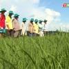"""Nông nghiệp và phát triển nông thôn """"Đạo ôn bùng phát và cách phòng trị"""""""