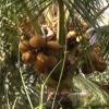 """Cây lành trái ngọt """"Dừa xiêm Tân Mỹ Chánh"""""""