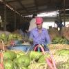 Tiêu thụ mãng cầu Xiêm của người dân xã Tân Thạnh, huyện Tân Phú Đông gặp khó
