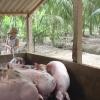 Mỗi kg heo xuất chuồng người nuôi bị lỗ 10.000 đồng