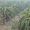 Nông dân trồng thanh long Chợ Gạo thu hoạch mùa thanh long ra hoa tự nhiên
