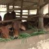 Bò là vật nuôi tái cơ nấu ngành chăn nuôi của Tân Phú Đông