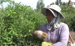 """Cây lành trái ngọt """"Mô hình Mãng Cầu Xiêm Xen Sơ Ri ở Xã Bình Đông Thị xã Gò Công""""."""