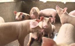 Hiệp hội Chăn nuôi Tiền Giang kêu cứu giúp nông dân chăn nuôi