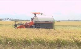 Năng suất lúa hè thu sớm huyện Cai Lậy đạt trên 7 tấn/hecta