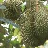 """Cây lành trái ngọt """"Khu vườn ông Trương Vĩnh Trọng – p2″"""
