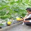 """Cây lành trái ngọt """"Mô hình trồng dưa lưới trong nhà màng"""""""