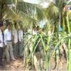 Mô hình trồng thanh long theo hình thức cho dây leo giàn
