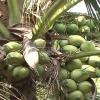 """Cây lành trái ngọt """"Cây dừa Bến Tre"""""""