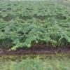 Mô hình trồng bí đao chanh.