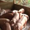 An toàn vệ sinh thực phẩm thịt gia súc gia cầm.
