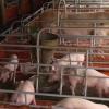 Người chăn nuôi heo tìm giải pháp khắc phục thua lỗ