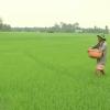 Tiền Giang xây dựng triển khai thực hiện ứng dụng công nghệ 4.0 trong sản xuất lúa