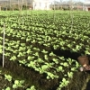 Mô hình trồng rau màu ở Gò Công Đông.