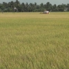 Gò Công Tây thực hiện hơn 1.000 hecta cánh đồng lớn vụ đông xuân 2017 – 2018