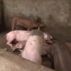 Chăn nuôi gây ô nhiễm môi trường – một khó khăn cho tiến trình xây dựng nông thôn mới ở một số địa phương