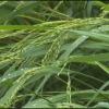 Mưa lớn kèm theo gió giật mạnh làm gần 10 hecta lúa hè thu sớm huyện Tân Phước bị đỗ ngã