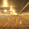 Tiền Giang dành 200 hecta phát triển chăn nuôi công nghệ cao