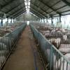 Bộ Nông nghiệp khuyến cáo không nên tăng đàn heo ồ ạt