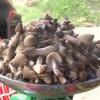 Nấm mối Chợ Gạo từ 800 đến 1 triệu đồng/kg