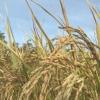 Lợi nhuận vụ lúa hè thu 2018 các huyện phía Đông tăng 3,68 triệu đồng/hecta