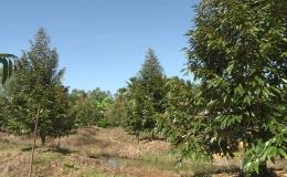 Diện tích trồng sầu riêng tăng đột biến ở vùng lũ các huyện phía Tây
