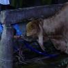 Công an Tiền Giang phát hiện cơ sở bơm nước vào gia súc trước khi giết mổ
