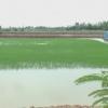 Tân Phú Đông áp dụng mô hình tôm lúa gần 300 hecta
