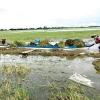 Nông dân ĐBSCL nhanh chóng thu hoạch lúa chạy lũ