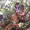 Xã Tân Phong, huyện Cai Lậy thu hoạch chôm chôm cuối vụ