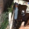 Hội viên Hội Người mù huyện Chợ Gạo ổn định cuộc sống nhờ dự án nuôi bò sinh sản