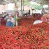 Ớt của Việt Nam bị Malaysia cấm nhập khẩu vì nhiều lô nhiễm thuốc bảo vệ thực vật