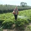Tân Phước trồng hơn 150 hecta khoai mỡ trong mùa lũ