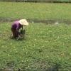 Cái Bè phát triển mô hình trồng rau nhút mùa nước nổi