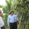 Tiền Giang chuẩn bị 400 tấn vú sữa xuất khẩu sang Hoa Kỳ