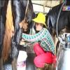 Mô hình nuôi bò sữa hiệu quả