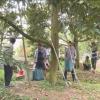 Mô hình trồng sầu riêng nghịch vụ