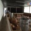 Tiền Giang chủ động phòng ngừa bệnh tả heo Châu Phi